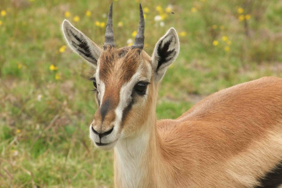 Zenfolio | YANG Deming | Mammals | A Lovely Thomson's Gazelle